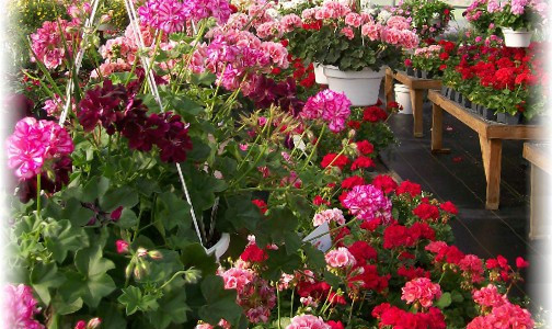 creekside_greenhouse_geraniums.jpg