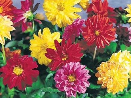 Garden Pride Dahlia