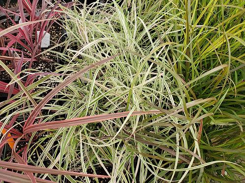 Annual Grasses
