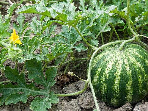 Sweet Baby Watermelon