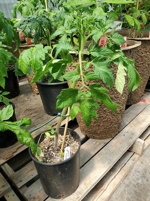 Tomato in 1 Gallon Pot