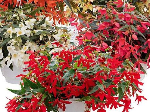 Begonia Trailing - Groovy