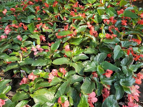 Begonia Trailing - Dragon Wing