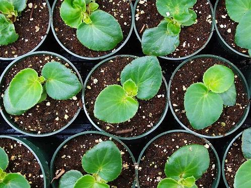 Begonia Trailing Mix