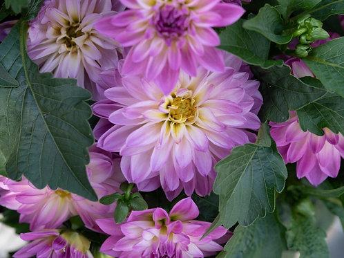 Novation Pink Bicolour Dahlia