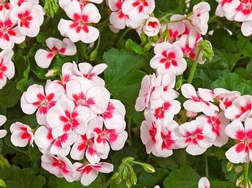 Zonal Geranium - Flower Fairy