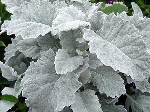 Dusty Miller - Small Box