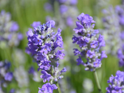 Traditional Lavender