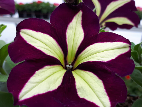 Trailing Petunia - Crazytunia