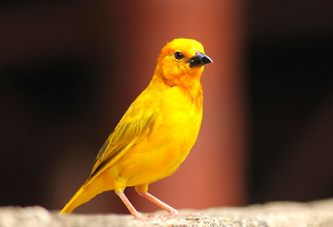 yellow and black bird on gray rock_edited.jpg