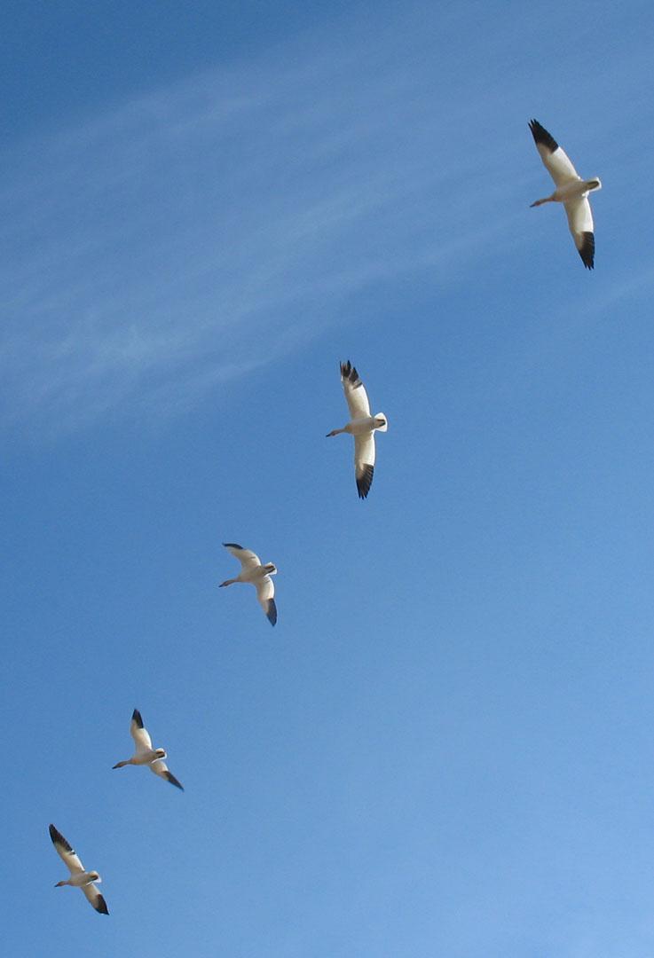 Oie blanche en vol