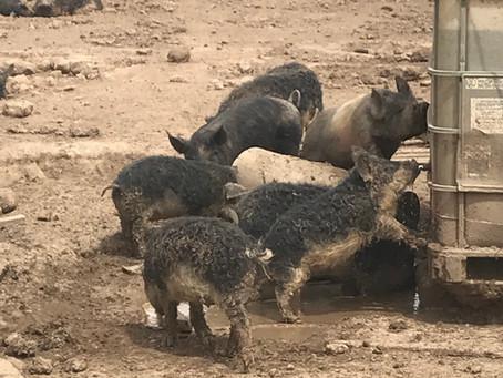 Our Mangalitsa pigs at Sky Blue Farm