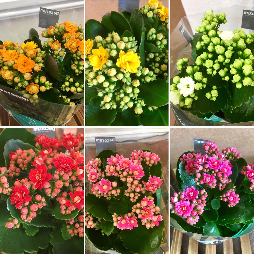 Kalanchoe Flaming Katy indoor pot plants at RoseTime Flowers