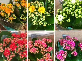 Plant of the Week - Kalanchoe