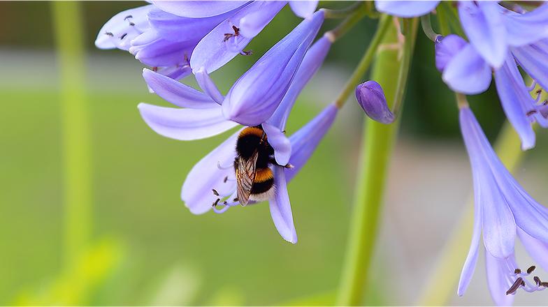 bumblebee-on-flower-4568527_960_720.png