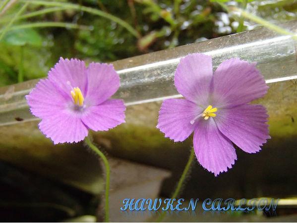 B. guehoi flower.jpg