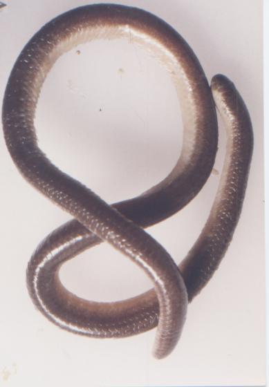 Myriopholis albiventer.jpg