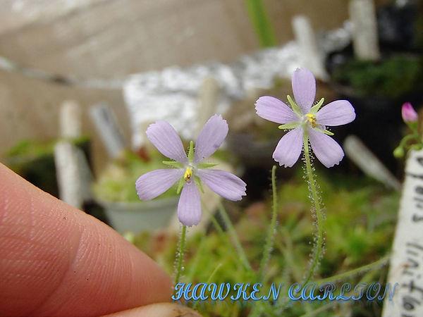 B. liniflora flowers.jpg