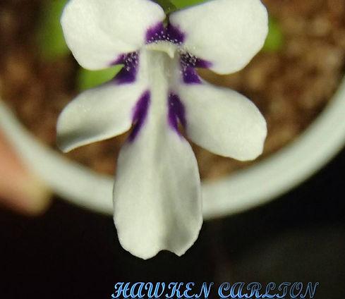 P. sp. Tonala ANPA A flower.jpg
