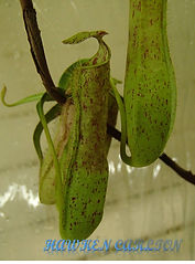 N. gracilis red, Singkawang Clone A.jpg