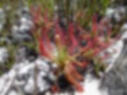 Drosera quartzicola (211).JPG