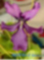 P. moranensis 'Huahuapan' flower.jpg