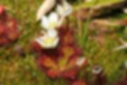 D. uniflora.jpg