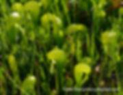 Darlingtonia viridiflora.jpg