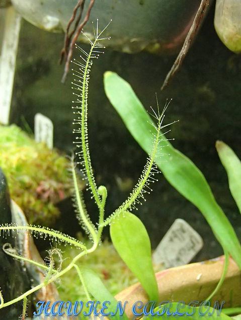 D. finlaysoniana.jpg