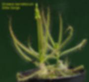 D. barrettorum.jpg