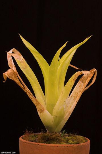 C. berteroniana.jpg