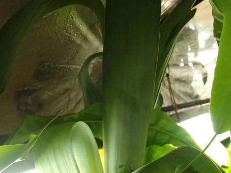 Carnivorous Monocots: The Bromeliads
