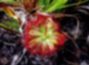 D. tentaculata.jpg