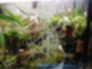 B. liniflora.jpg