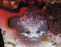endemic splendid toadfish