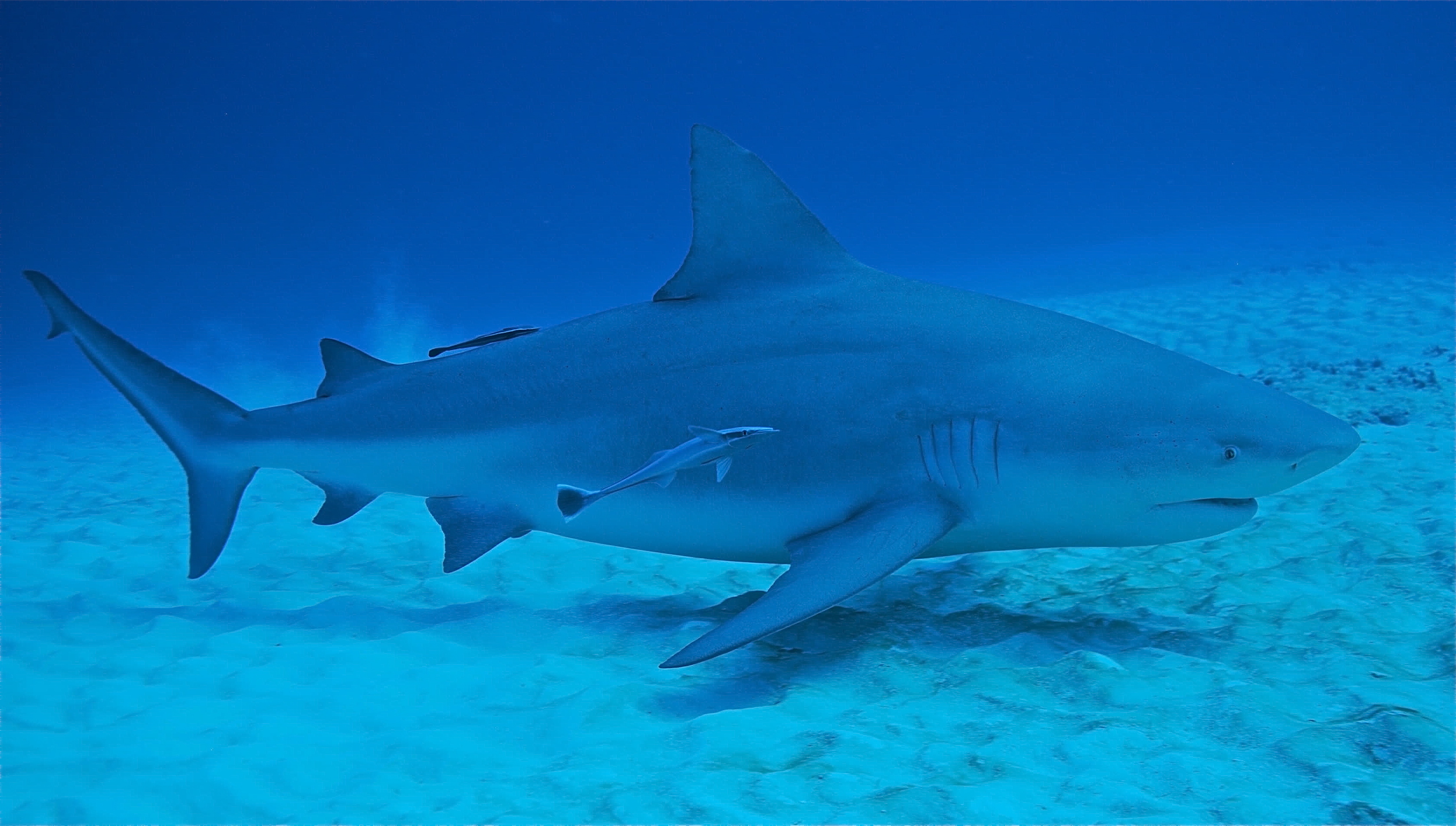 sharks in the caribbean