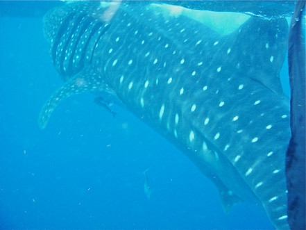 whale shark excursion