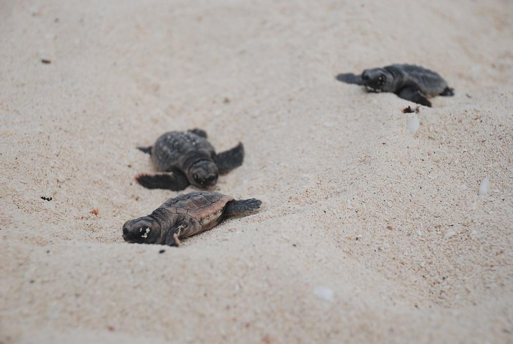 temporada-anidamiento-tortugas-marinas-mexico