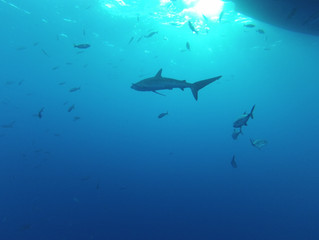 Tiburones, seres legendarios.