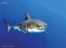 Guadalupe-great-white-sharks_002-min.jpg