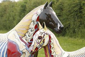 Gillian Higgins, anatomical artist, cervical vertebrae, longus colli, deep cranial pectoral muscle, subclavian, nuchal ligament, trachea, oesophagus, horse sculpture model spine, skeleton