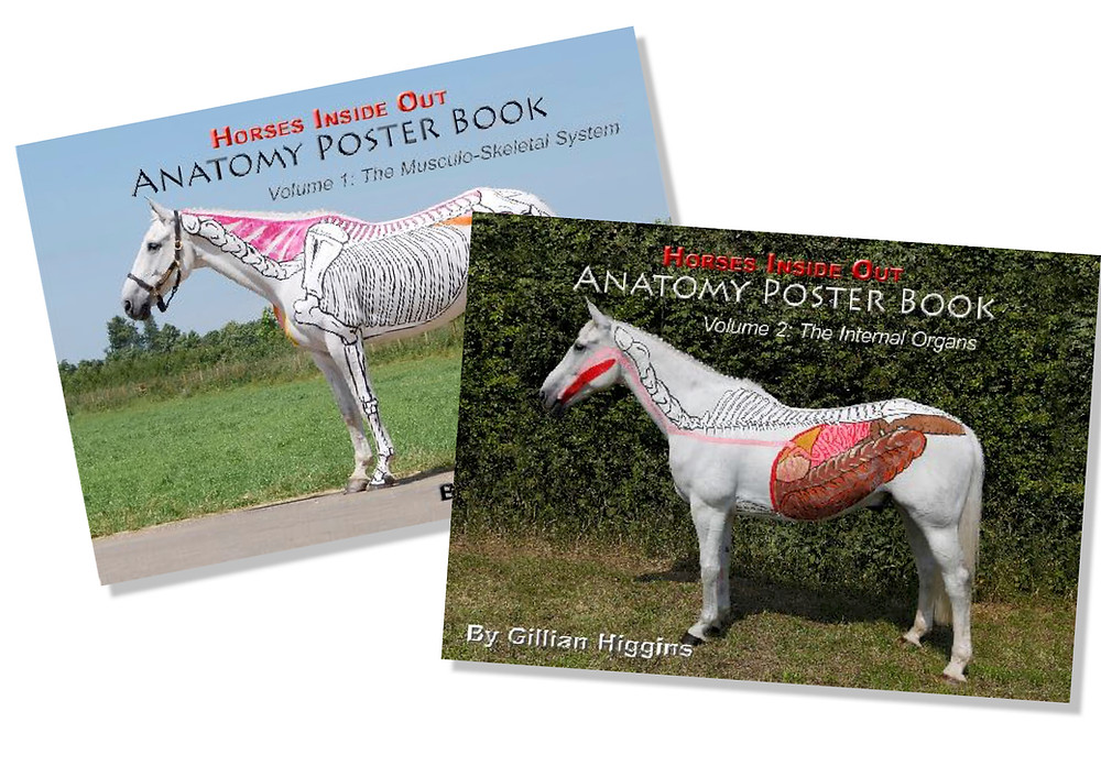 Anatomy poster book, musculoskeletal system, bones, muscles, superficial, deep,  ligaments, internal organs, visceral, respiratory, circulatory, cardiovascular, arteries, veins, lymphatic, reproductive, horse in foal, pregnancy