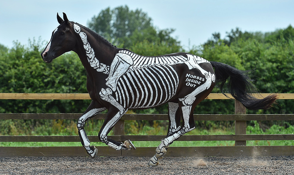 canter, skeletal maturity, anatomy, exercises for young horses