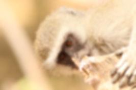 Vervet Monkey, Moremi Game Reserve