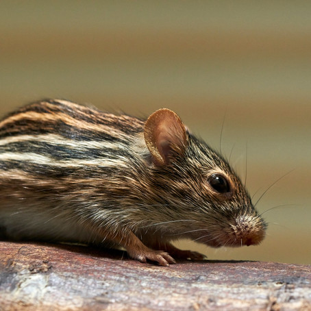 Common Types Of Rodents Invading Homes