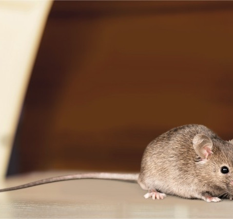 Why You Should Invest in Professional Rat Control For Your Business