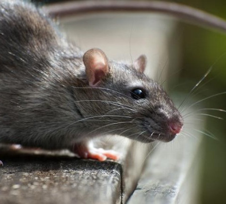 Top Benefits of Rodent Control