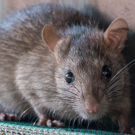 How Rodents Get In California Homes