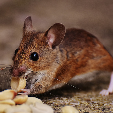 Different Types Of Rodents