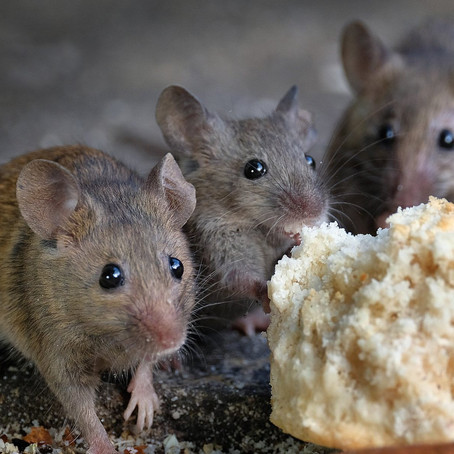 Mice Control: How to Keep Mice Out of the House?